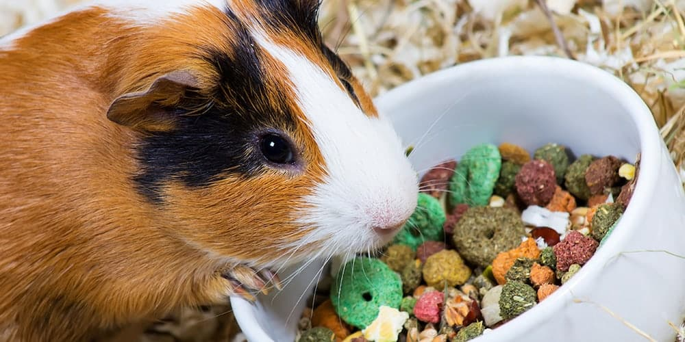 Image result for 4 Important Tips for Maintaining The Tiny Guinea Pig